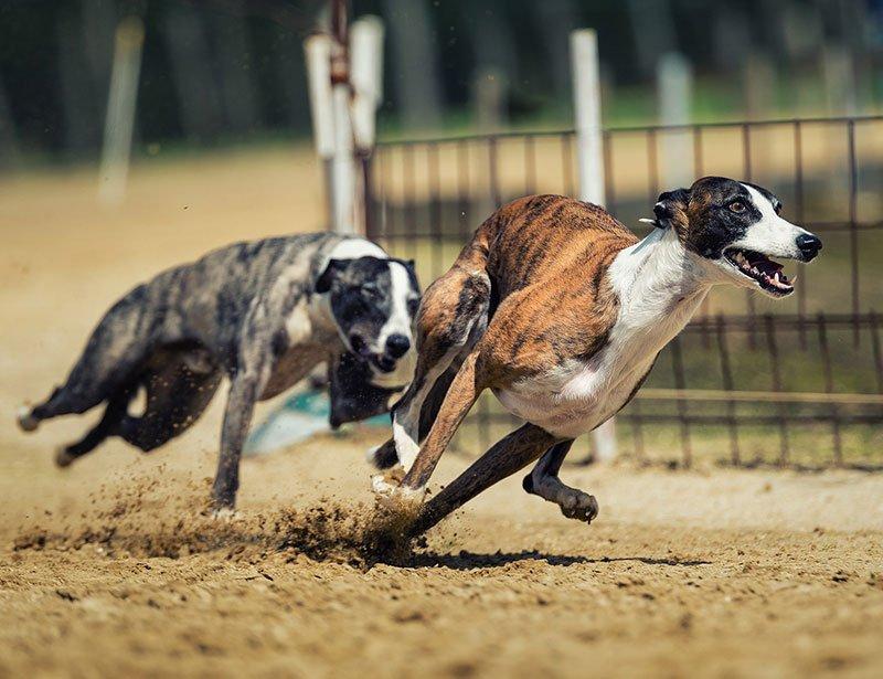 Dog Racing in Galway - Visit Galway