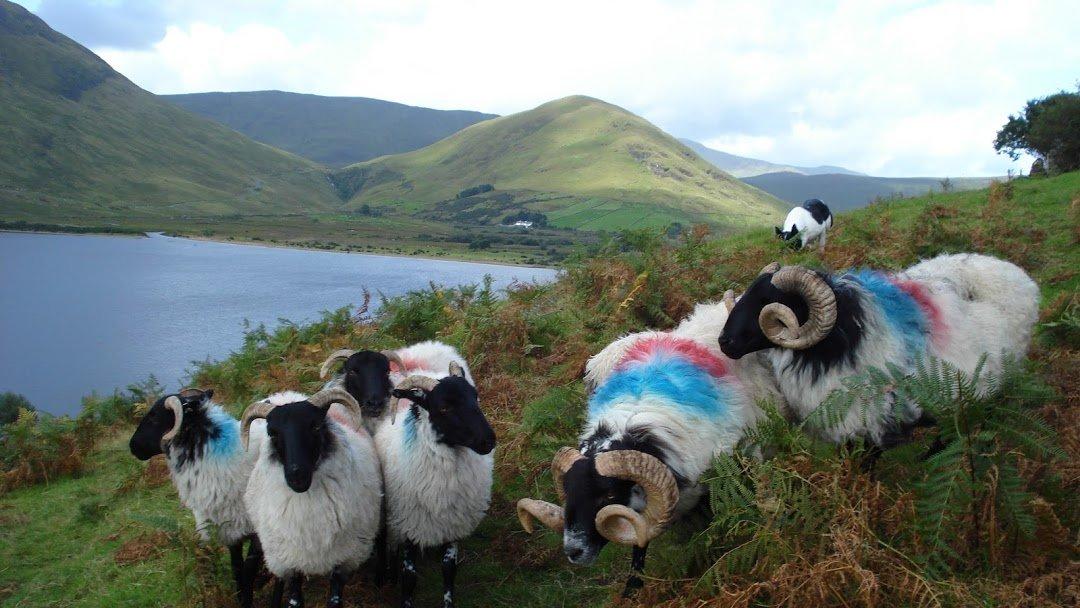 Joyce Country Sheepdogs in Connemara - Visit Galway