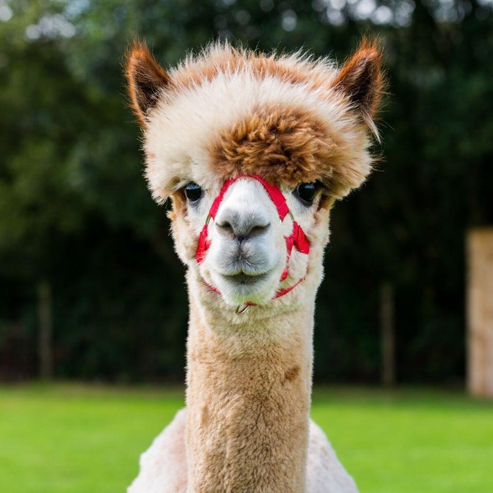 Curraghduff Farm Alpaca - Visit Galway
